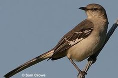 The Northern Mockingbird. Beautiful variety of songs.