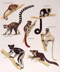 Russet Mouse-lemur, Wooly Lemur, Indri, Aye-aye, etc. Vintage 1984 Animal Book Plate. $10.00, via Etsy.