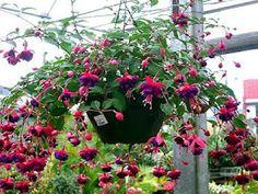 Jardim da Terra: INSPIRAÇÃO: Plantas Pendentes: Brinco de Princesa
