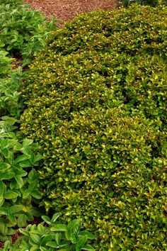 Little Rascal® Holly is an extremely cold hardy evergreen shrub requiring practically no maintenance! Dense, compact form has a rounded shape fitting nicely in today's landscapes. Deep purple winter color. Use as a pollenizer. (Zones 5-9)