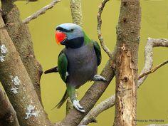 Male Derbyan Parakeet