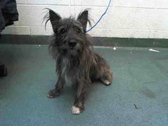 STAMPER (A1666409) I am a male gray and black Scottish Terrier. The shelter staff think I am about 1 year old. I was found as a stray and I may be available for adoption on 12/19/2014. — hier: Miami Dade County Animal Services. https://www.facebook.com/urgentdogsofmiami/photos/pb.191859757515102.-2207520000.1418570148./888705197830551/?type=3&theater