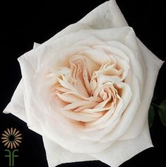 White O'Hara Garden Roses l Wholesale Flowers & DIY Wedding Flowers White Wedding Flowers, Big Flowers, Rose Wedding, Colorful Flowers, Garden Wedding, Wedding Greenery, Seasonal Flowers, Wedding White, Bridal Flowers