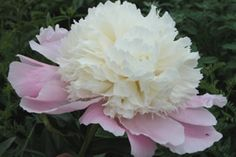 Touch of Class Peony