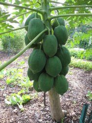 Papaya tree - How to grow & care Papaya Tree, Ice Cream Toppings, Tree Seeds, Tomato Plants, Tropical Fruits, Garden Photos, Planting Seeds, Season Colors, Live Plants