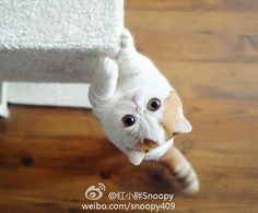 Snoopy the Exotic Shorthair Rare Cats, Exotic Cats, Cats And Kittens, Snoopy Cat, Baby Animals, Cute Animals, Cutest Cats Ever, Exotic Shorthair, Cute Cat Breeds
