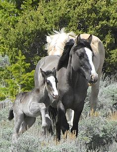 "Update on Cloud's Herd, his new son ""Ohanzee"" and mama Feldspar. Her colt is the spitting image of her, wow!"