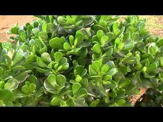 ¿Ya tienes un Jade?   Plantas