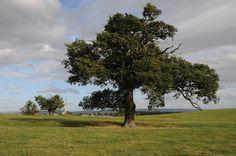 Oak trees and Tewkesbury Abbey
