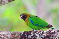 Looks like a black masked lovebird mixed with a green cheek conure mixed with a Mexican red fronted Amazon