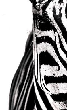 xx..tracy porter..poetic wanderlust..- Zebra