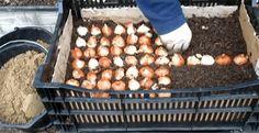 время высадки луковиц тюльпанов