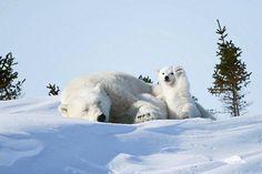 """Pörröinen jääkarhunpentu näyttää tervehtivän kameraa Philip Marazzin kuvassa """"Hello!""""."""