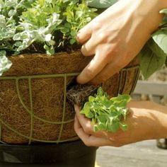 Plant a Flowering Hanging Basket: Side planting for trailing baskets