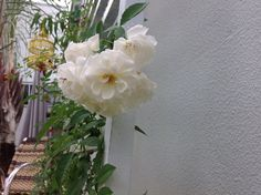 Rosa trepadeira branca