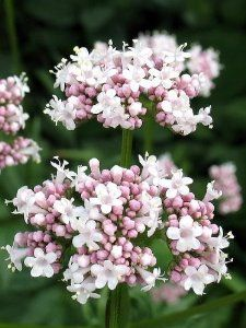 Valerian is an herb that is noted for it sedative qualities. Description from amazon.com. I searched for this on bing.com/images