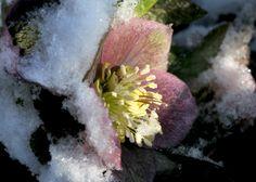 Helleborus half buried under the snow