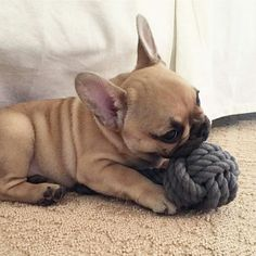 """I figured out how to chew through rope, so my humans bought me this big rope ball""...... "" I'ma eat it now, Nom, Nom, Nom"", funny French Bulldog Puppy"