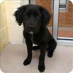 Birmingham, AL - Labrador Retriever Mix. Meet Pebbles a Puppy for Adoption.