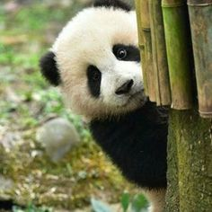 Panda peek or boo!