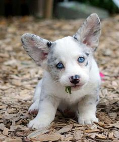 blue merle corgi puppy, so cute. I think this is the next dog I will get! Cardigan Welsh Corgi Puppies, Corgi Dog, Pet Dogs, Baby Corgi, Weiner Dogs, Corgi Welsh, Corgi Funny, Beagle Puppy, Baby Animals