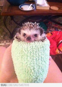I will own a hedgehog....