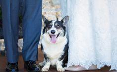Corgi at Wedding. AmaZinn Photography by Amanda Zinner Bride Groom, Amanda, Corgi, Photography, Wedding, Animals, Valentines Day Weddings, Corgis, Photograph