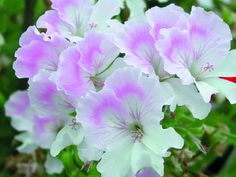 SARDUNYA Angel / Geranium Angel  'Quantock May'