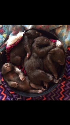 The cutest puddle of baby wombats I've ever seen Cute Wombat, Baby Wombat, Cute Creatures, Beautiful Creatures, Animals Beautiful, Nature Animals, Animals And Pets, Cute Baby Animals, Funny Animals