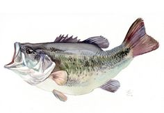 Bass fish painting Giclee print of original by VerbruggeWatercolor