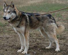 Tamaskan Dog: (Northern Inuit Dog, Utonagan, Siberian Husky, Alaskan Malamute, German Shepherd, Saarloos Wolfdog, and other arctic breeds.)