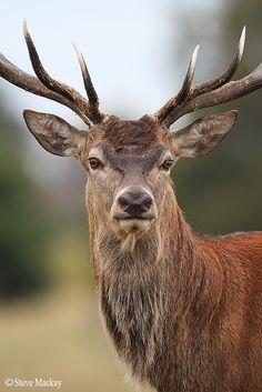 Red Deer Portrait by Steve Mackay on 500px