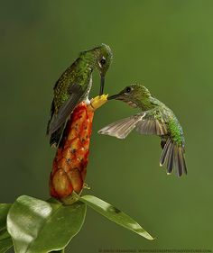Green-crowned brilliants. Hummingbirds feed in many small meals, consuming many small invertebrates and up to twelve times their own body weight in nectar each day