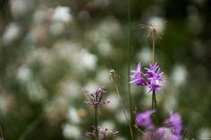写真 ツルバキア ビオラセア ユリ科の花らしいです。