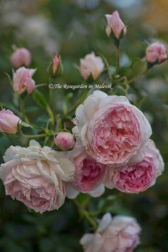The ROSEGARDEN in Malevik The Wedgwood Rose