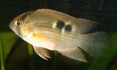 """Cleithracara maronii  """"Keyhole Cichlid""""  (In So. American/Amazonian tank)"""