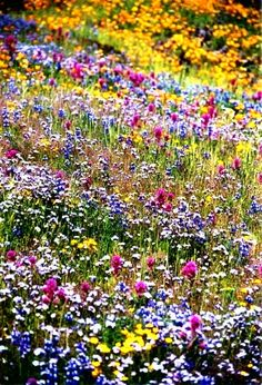 Texas wildflowers.