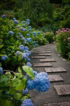 The mass of hydrangeas along one side of the interesting stone path make a lovely sight.