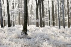 Winter Frost Forest Wall Mural, custom made to suit your wall size by the UK's No.1 for wall murals. Custom design service and express delivery available.