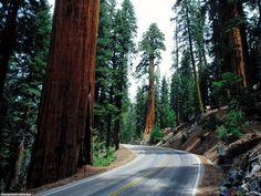 sequoia tree logging   redwood_road_sequoia_national_park.jpg