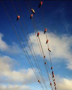 DENHAM, Australia—Cockatoos on telegraph wires on Highway 1 in Shark Bay, 2006.  © Trent Parke / Magnum Photos