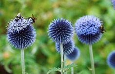 solig rabatt Bl bolltistel, Echinops bannaticus, r - Garden Trees, Garden Art, Garden Plants, Garden Design, Flower Beds, My Flower, Flowers Perennials, Planting Flowers, Growing Gardens