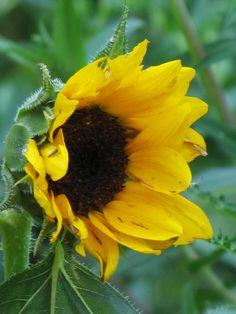 beautiful sunflower at Reynolda Gardens