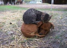 25 Adorable Cats Sleeping on Dogs (Photos)