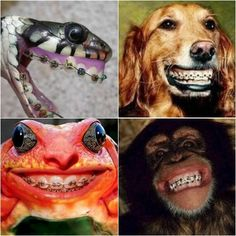 goats with braces | Animals with braces! They deserve to have straight teeth too, don't ...