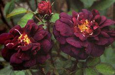Moss Rose - Nuits de Young