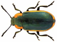 Family: Chrysomelidae Size: 6-8 mm Origin: Europe Ecology: on Polygonaceen Location: Germany, Bavaria, Upper Franconia, Weissenstadt leg.det. U.Schmidt, 1974 Photo: U.Schmidt, 2006