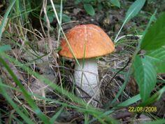 .: ADAM MATUSZYK :. #Grzyby jadalne #kozak_czerwony #koźlarz czerwony #marcin #mushrooms