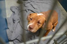 Still there 5/12/14 WS309 / A3454674  3 YR M TAN / WHITE PIT BULL/MIX STRAY Intake Date: 5/7/2014 S43 INJ-TR *wound over left eye. pupils are equal and responsive, dog is depressed. 50 mg rimadyl po bid _____am_____pm and 50 mg tramadol po bid _____am _____pm until disposition.  At risk for euthanasia at 5am, Mon May 12th.  MCACC 2500 S. 27th Avenue Phoenix, AZ (602-506-2765) Hours open: 11AM-5:30PM *Remember: MCACC West is closed every Wednesday for adoptions.