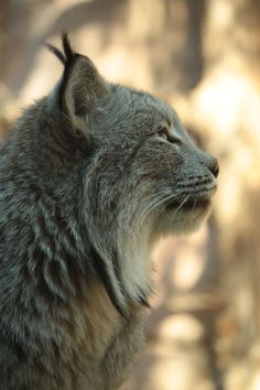 lynx, big(ger) version of my already big (but precious) coconut Beautiful Cats, Animals Beautiful, Cute Animals, Big Cats, Cool Cats, Cats Outside, Photo Animaliere, Power Animal, Mundo Animal